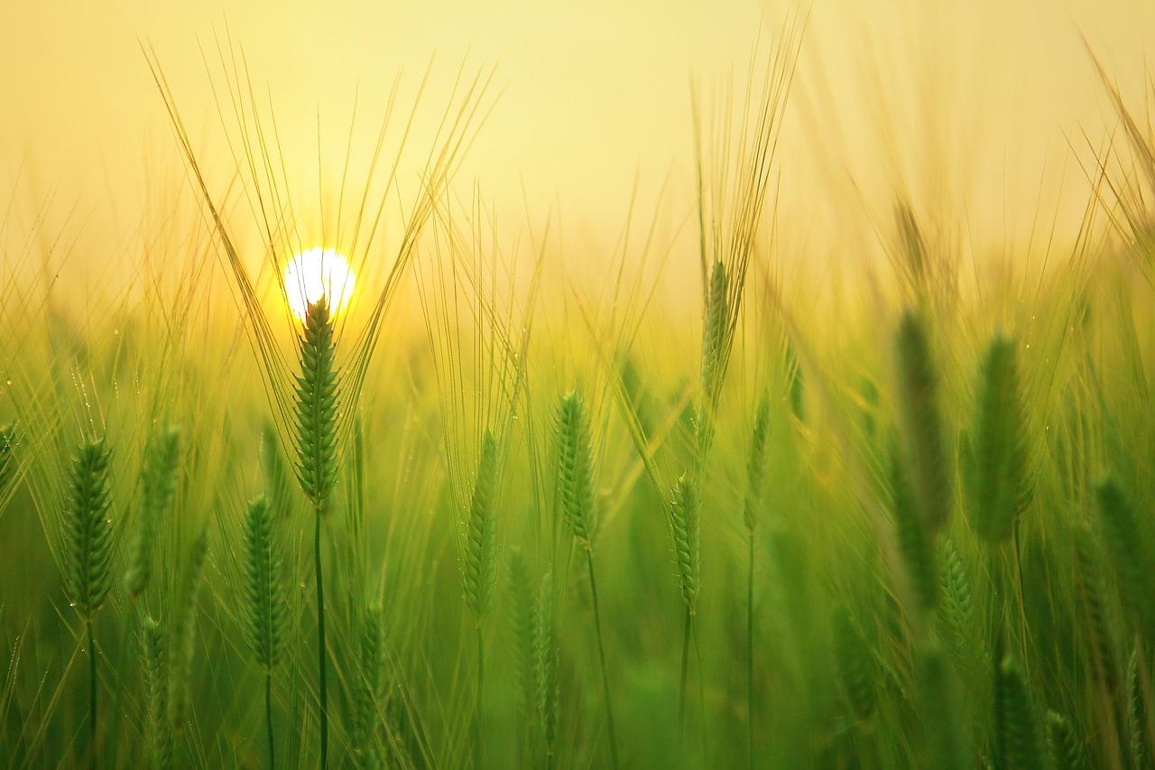 Zielony jęczmień – w czym tkwi jego moc?
